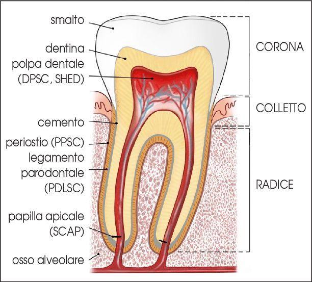 vista in sezione di un dente con tutte le sue parti interne